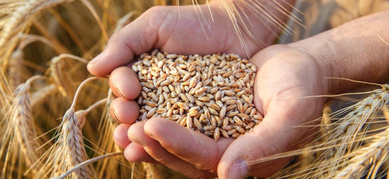 slika pšenice - objavljena