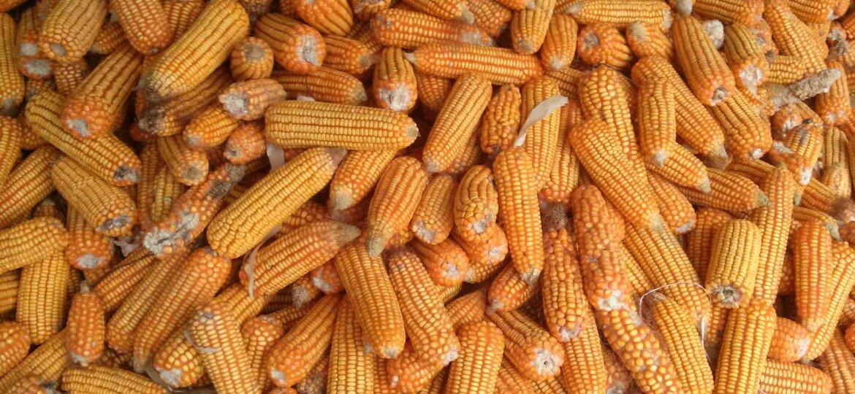kukuruzz